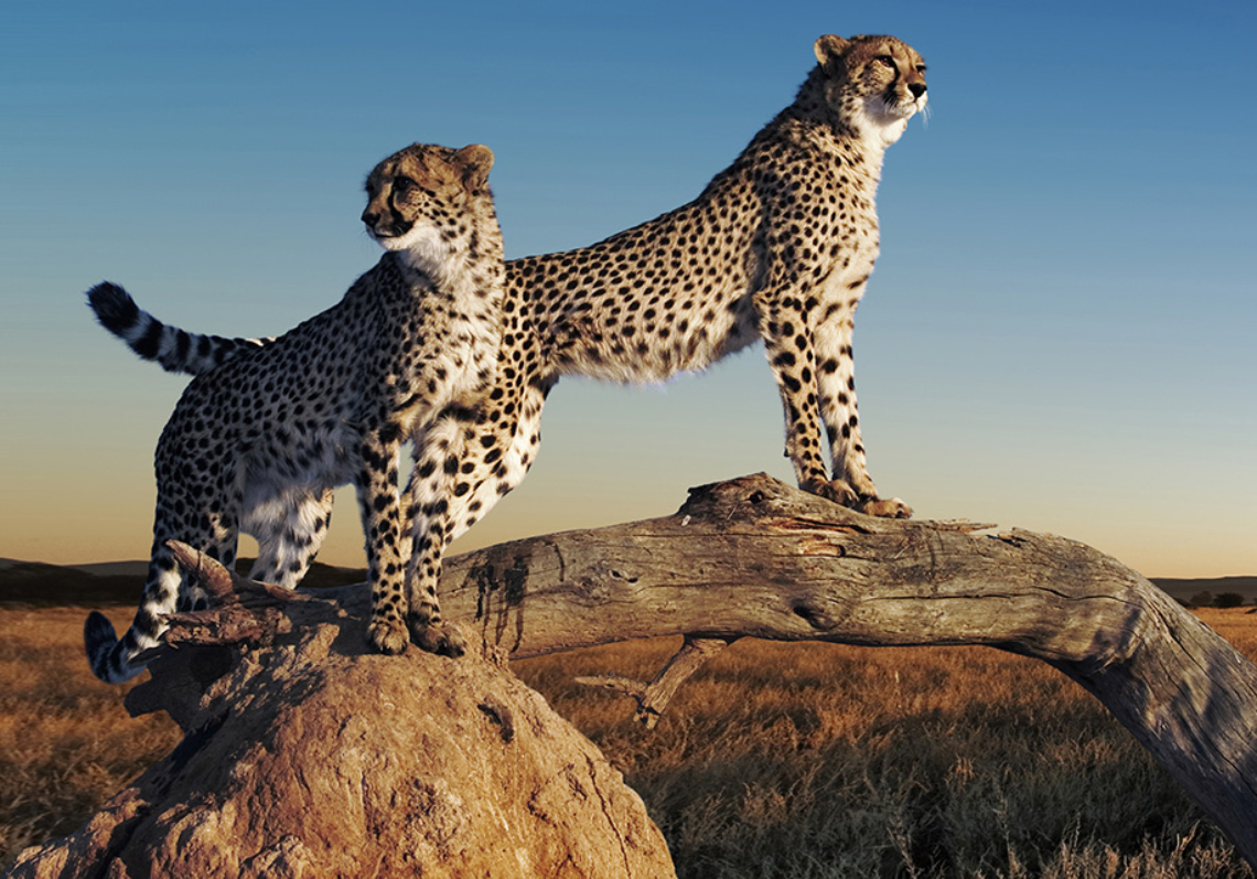 Cheetah (Acinonyx jubatus). Couple of cheetahs using termite mound and branch as a vantage point. Can reach top speeds of up to 120 km/hr over short distances with an acceleration of zero to 80km per hour in 3 seconds. Endangered species. Digital Composite. Dist. Africa & Middle East.